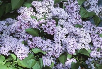 Several kinds of insects feed on lilac bushes but rarely kill them.