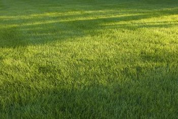 Sandbur is less prevalent in a dense, healthy lawn.