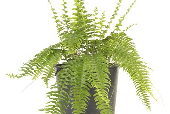 Usually grown indoors, Boston fern (Nephrolepis exaltata) thrives in containers.