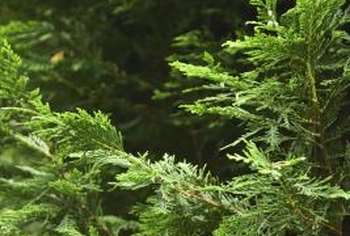 Trim a cedar at planting when to reduce pruning maintenance as the tree grows.