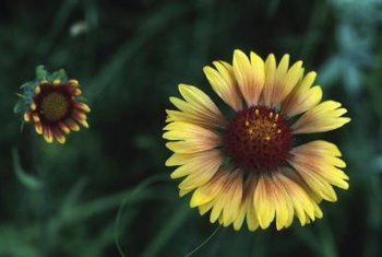 Gaillardia puchella blooms from midsummer until frost.
