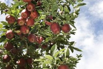 Apple trees typically start bearing fruit around their fifth to eighth year of growth.