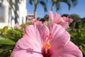 "Hibiscus, also called Confederate rose, comes in a single-flowering cultivar called ""Flora Plena"" and a double-flowering variety called ""Rubra."""