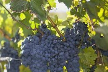A single grapevine in the backyard can provide an abundant supply of grapes for home use.