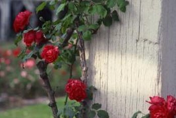 Trimming or pruning a rose bush helps prevent disease and encourages healthy blooms.