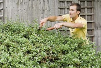 Regularly pruning shrubs ensures pleasing shapes and increased health, vigor and thickness.