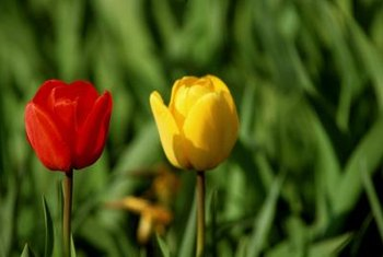 Tulip leaves should be left alone until they are completely dead.