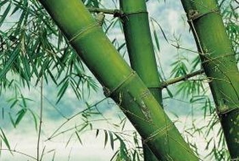 Large bamboo can be grown in a pot, but may never reach its full size.