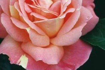 Hybrid tea roses bear one bloom per stem, while grandifloras bear several.