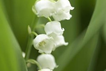 Lily of the valley produces groups of dainty white flowers.