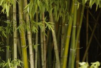 Painted bamboo resembles golden bamboo with decorative green stripes.