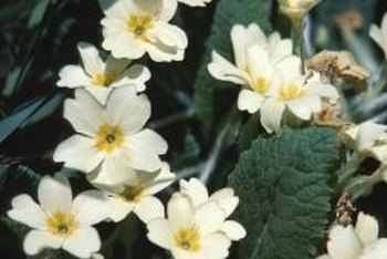 Primroses grow well in partly shady spots beneath bushes and trees.