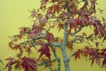 Bonsai maple trees are susceptible to the same diseases as full-sized specimens.