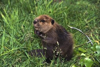 Beavers are the largest rodents in North America.