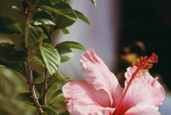 Hibiscus shrubs grown in patio pots highlight the lovely flowers.