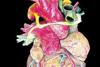 The heart is an important component of the cardiorespiratory system.