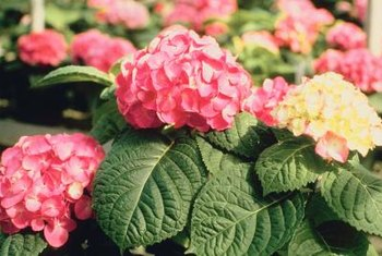 Most hydrangeas require trimming after flowering.