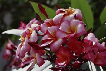 Frangipani are an aromatic tropical flower.