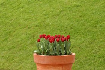 Potted bulbs add temporary color outdoors without the need for a garden.