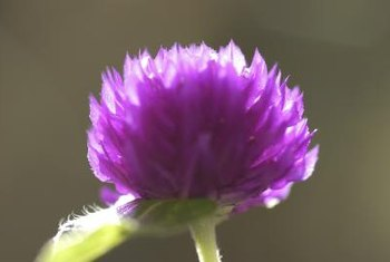 Only a few ornamental thistle species will grow from cuttings.