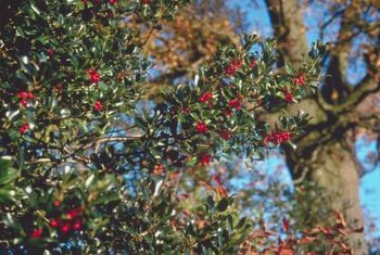 Holly bushes make festive additions to temperate-climate landscapes.