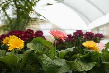 Gerbera daisies grow large when planted in the garden.