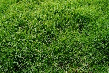 Grass needs fertilizing regularly.
