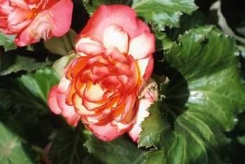Begonias are grown in all climatic zones.