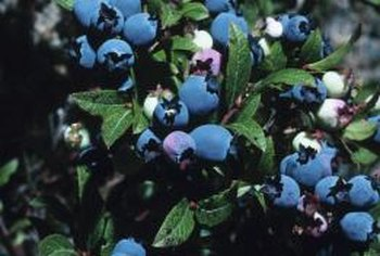Blueberry bushes produce abundant fruit and are attractive shrubs.