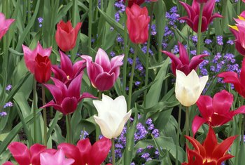 Choose the right types of tulip for your climate to avoid yearly digging.