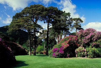 Alaskan weeping cypress makes a sturdy, long-lived landscape tree on large lawns.