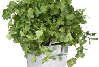 When growing cilantro, keep the plant's soil moist.