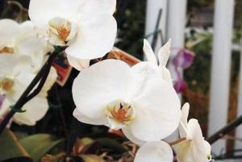 Though they come in a variety of colors, moth orchids are usually white.