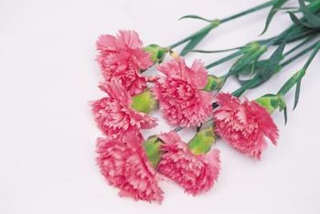 Highly fragrant, carnations are popular cut flowers.