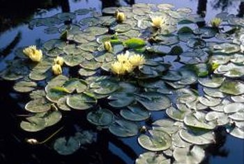 Floating plants such as water lilies keep water cooler and prevent algae growth, while submerged plants clean and oxygenate the water.