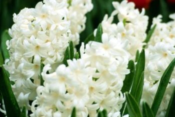 World Hyacinth Day is March 7th.