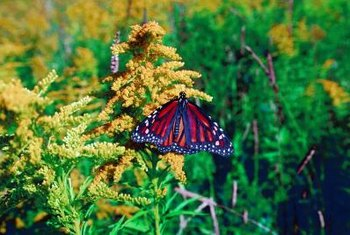 Butterflies feed off goldenrod flowers in the fall.