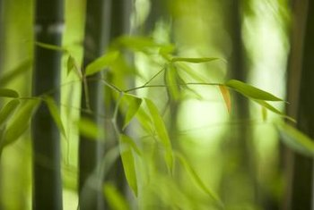 Divide bamboo in midspring to start new plants.