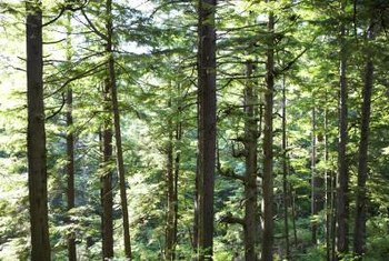 Uncontrolled, pine blights cause severe economic losses for tree farms and timber industries.