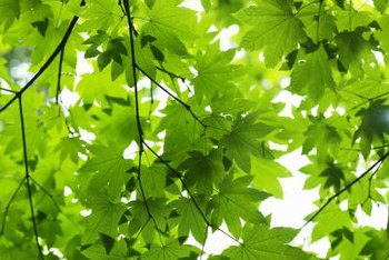 Sycamore leaves are similar to maple leaves, but much larger.
