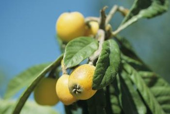 Loquats are a tangy, succulent fruit distantly related to apples and peaches.