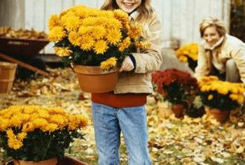 Chrysanthemums in containers provide spot color in your fall garden.