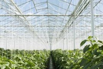 High ceilings and good ventilation moderate the temperature inside a greenhouse.