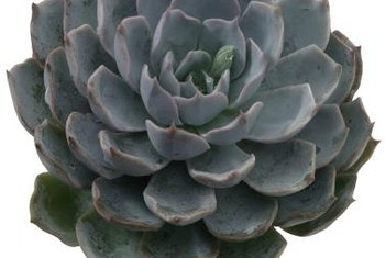 Pruning away the occasional dead leaf improves the appearance and health of a succulent.