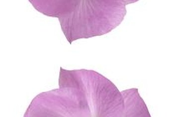Lilac hibiscus blossoms bring a tropical feel to the landscape.