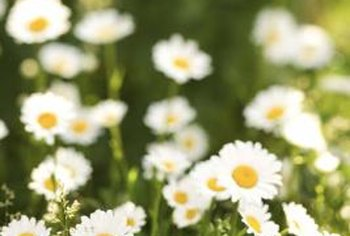Daisies, along with most food crops and woody plants such as roses, are dicots.