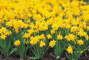 Do not remove faded daffodil leaves until they are fully brown.