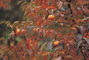 Healthy peach trees produce abundant crops.