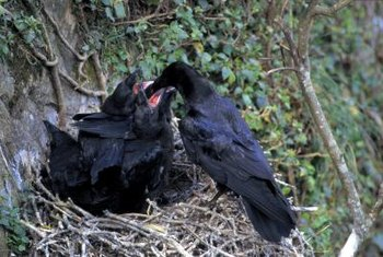 Blackbird nests typically house three to five baby birds.