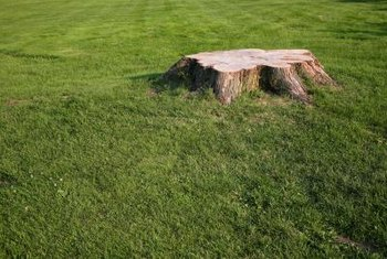 Apply an herbicide to a freshly cut hedge stump.